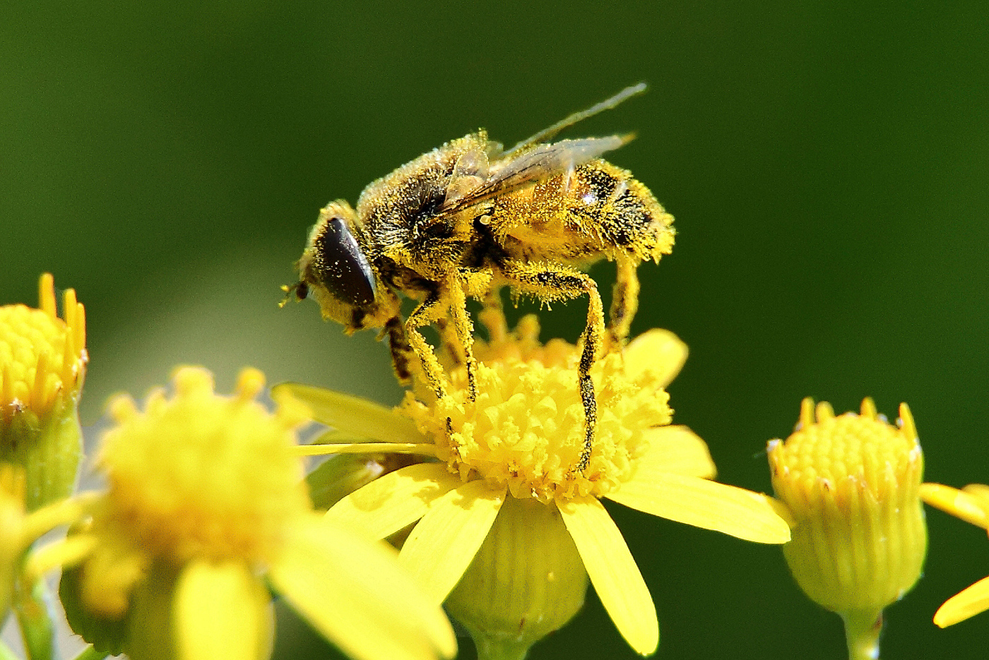 Bee covered in yellow dust, pollen, crouches atop small yellow flower.