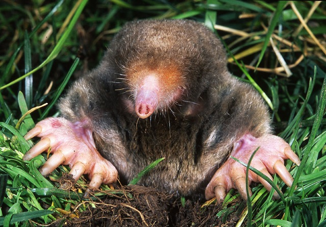 Large claws of mole splay grass as it pokes out of hole in ground