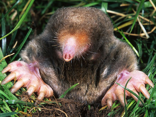 Moles smell in stereo!