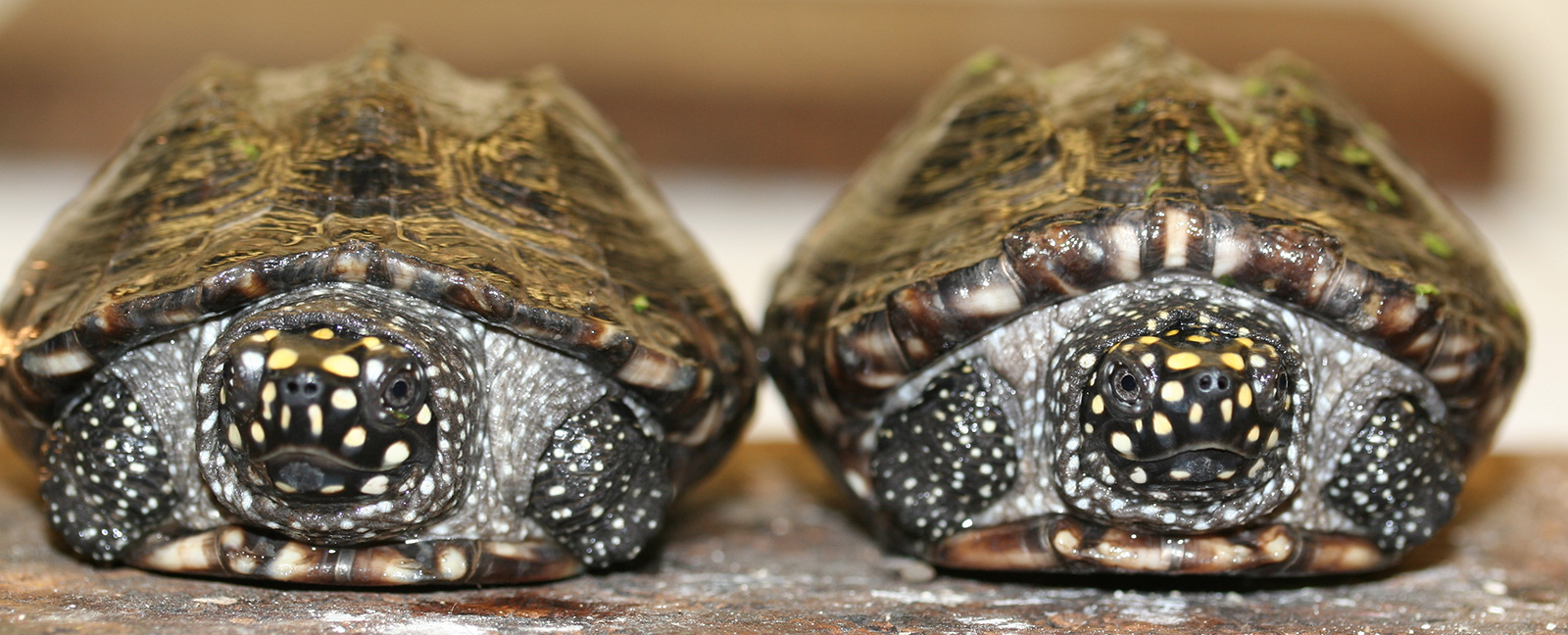 Two tiny turtles side by side, legs retracted into shells and spotted faces peering out.