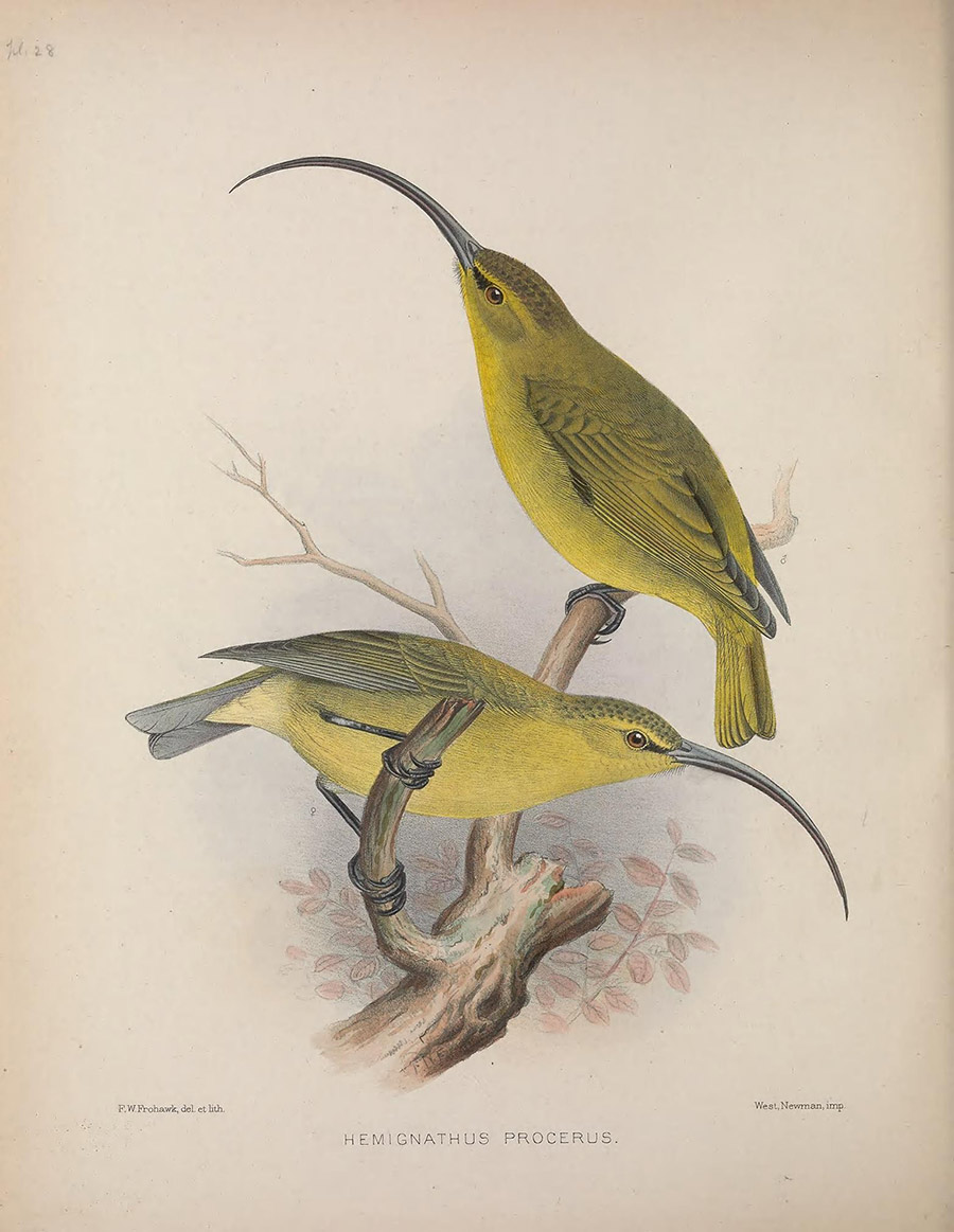 Hand drawing of finch-sized lemon-lime birds with long, narrow, curved beaks.