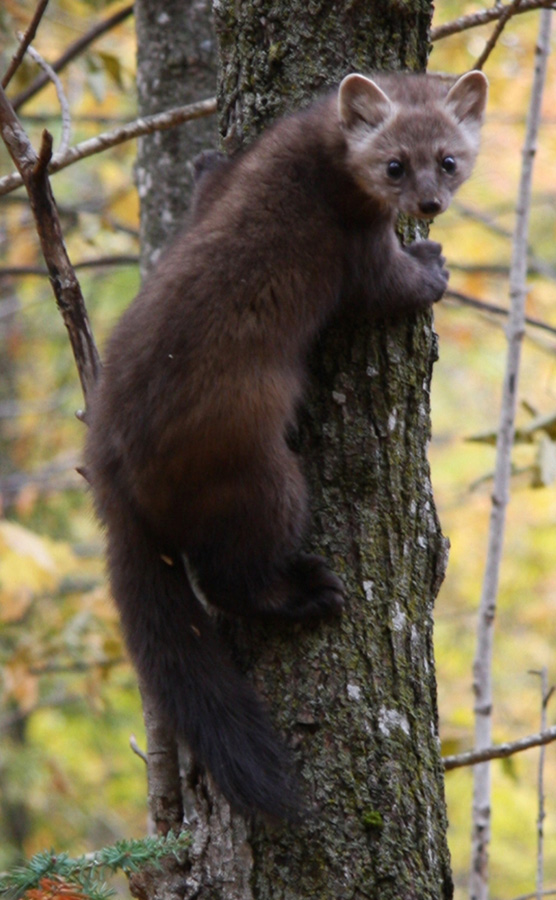 Furry brown animal, resembling a mix of small raccoon and large ferret, with long tail climbing tree trunk.