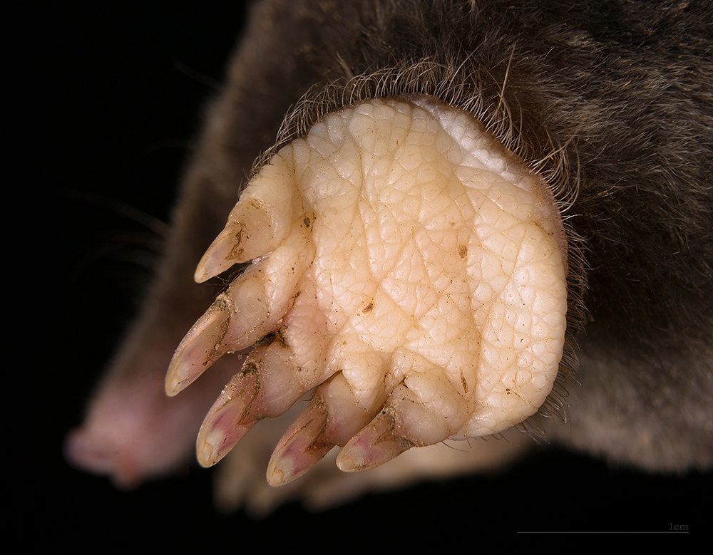 Yellowish peach underside of mole paw, showing very creased skin pad and long nails