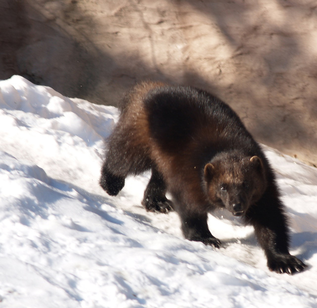 Stance and face give a wolverine the appearance of a small bear as it pads across snow.