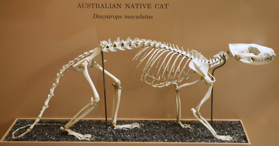 Cat skeleton with all four paws on ground, in walking position.