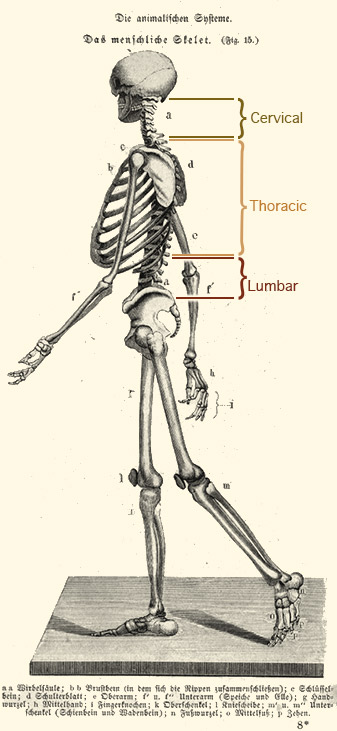 Engraving of human skeleton upright, in walking position.