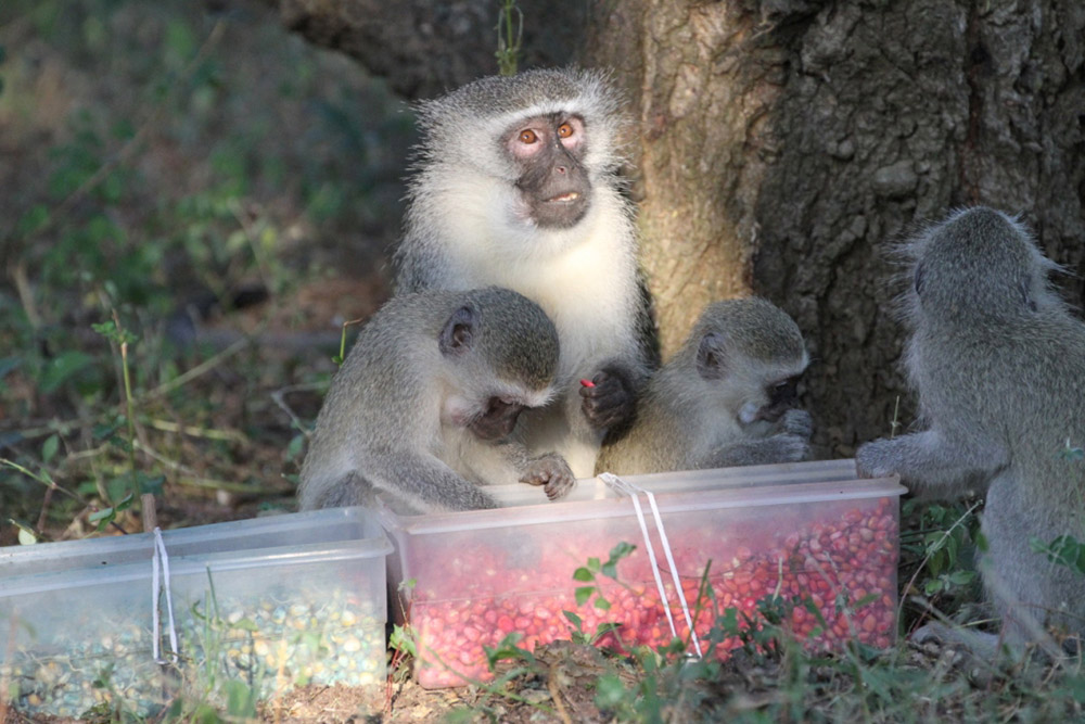 Three young and one mature vervets eat pink corn from a plastic box on ground.