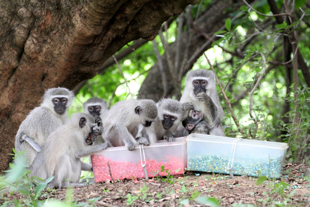 Seven light grey vervets huddle around two plastic boxes on ground, eating only from the box on the left.