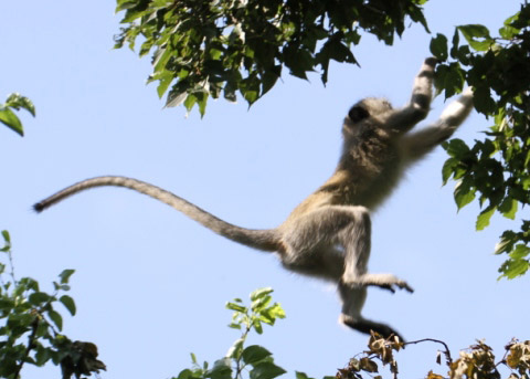 Vervet jumping from one green, leafy branch to another with tail outstretched and blue sky background.