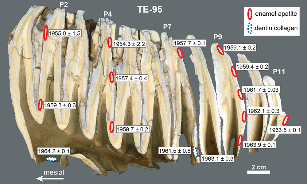 cross section of huge elephant molar appears to have folds making up the tooth structure