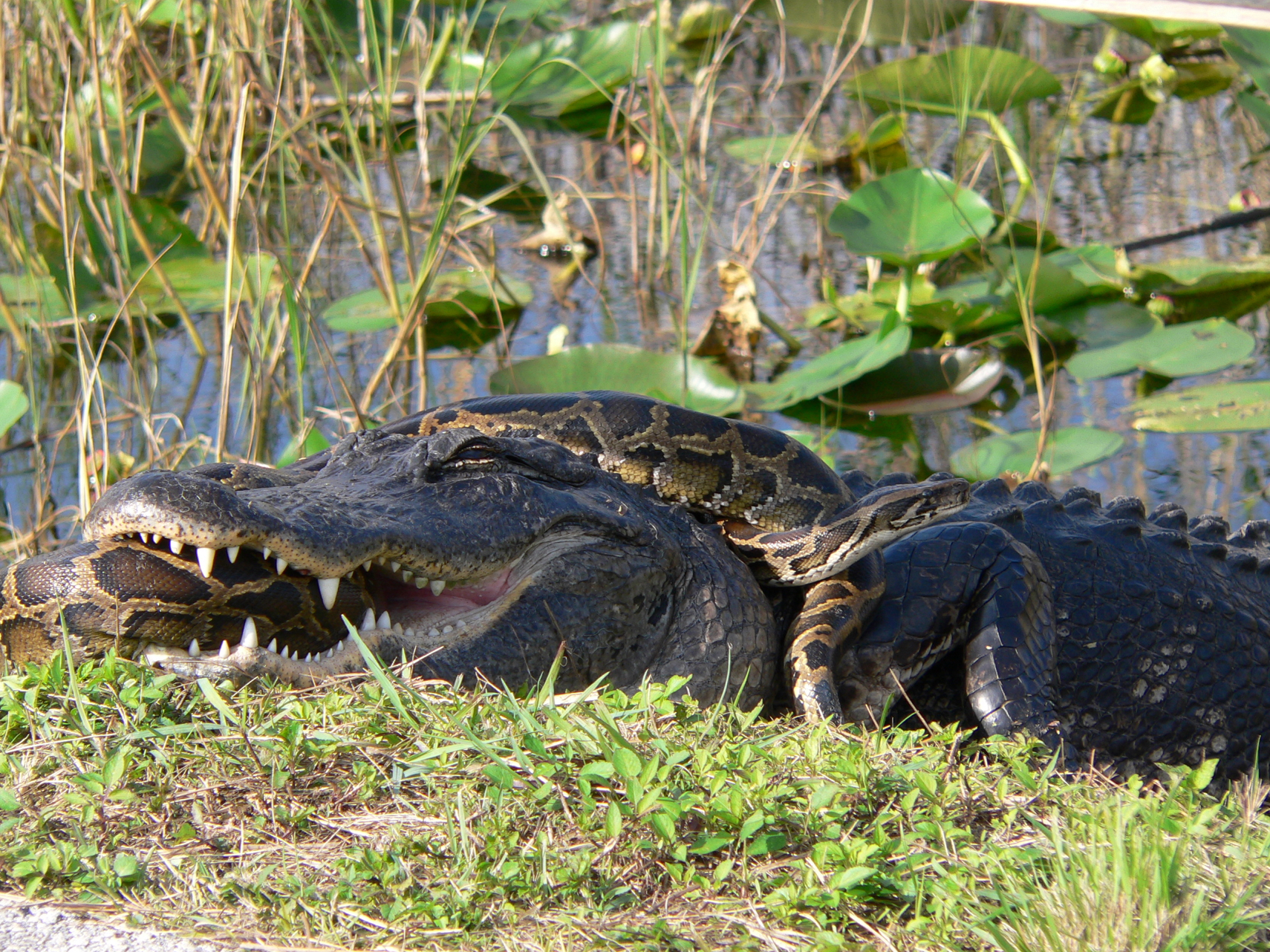 ark grey alligator and dark brown snake fight in grass and water, snake clutched in gator's mouth