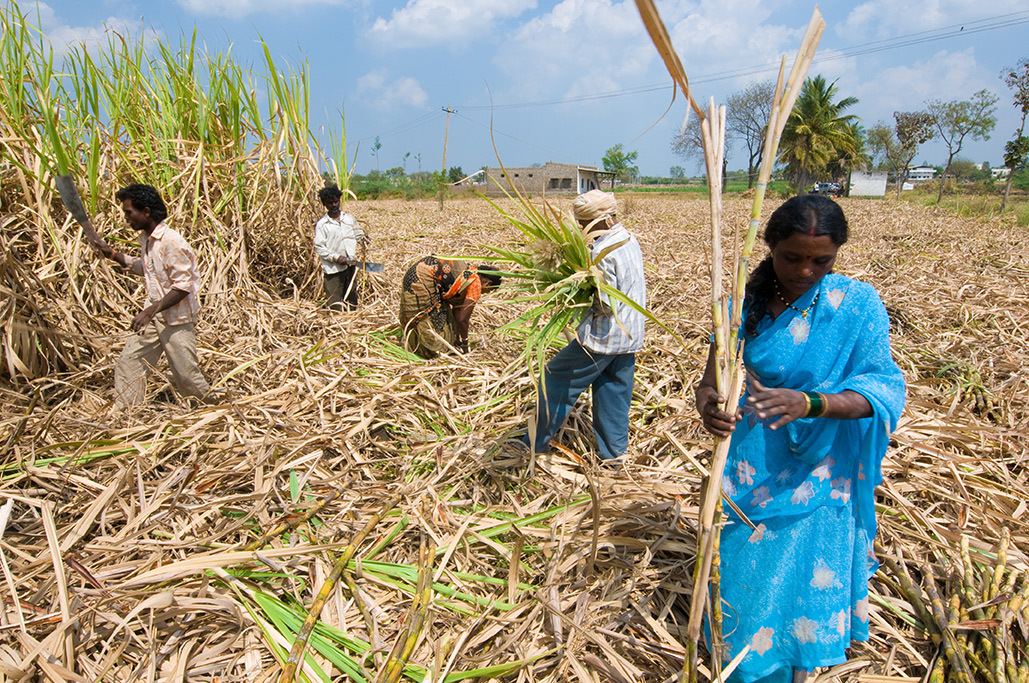 Indian farmers cut down sugar canes with machetes