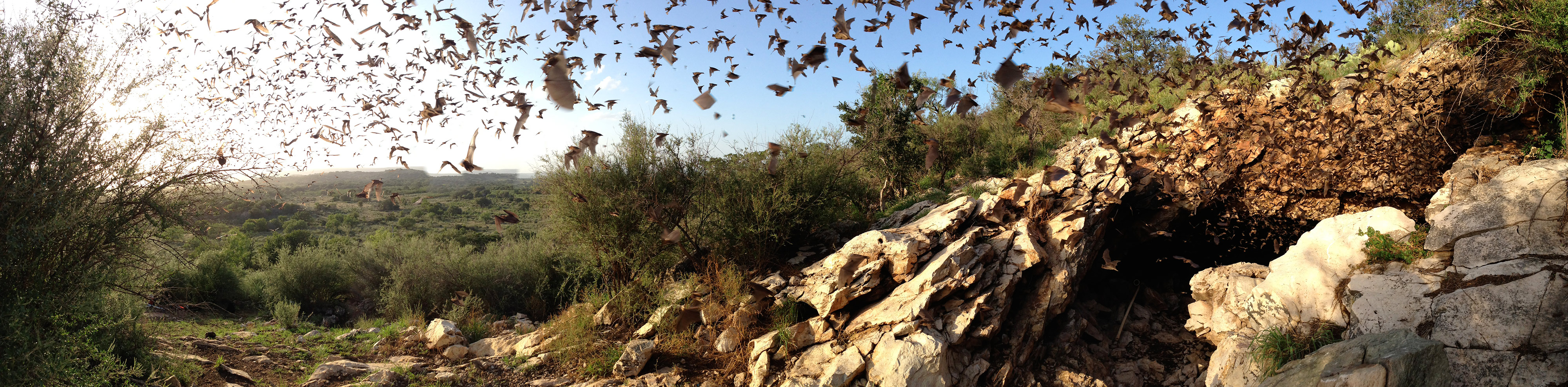 swarms of bats coming from an underground cave, flying away to the distance