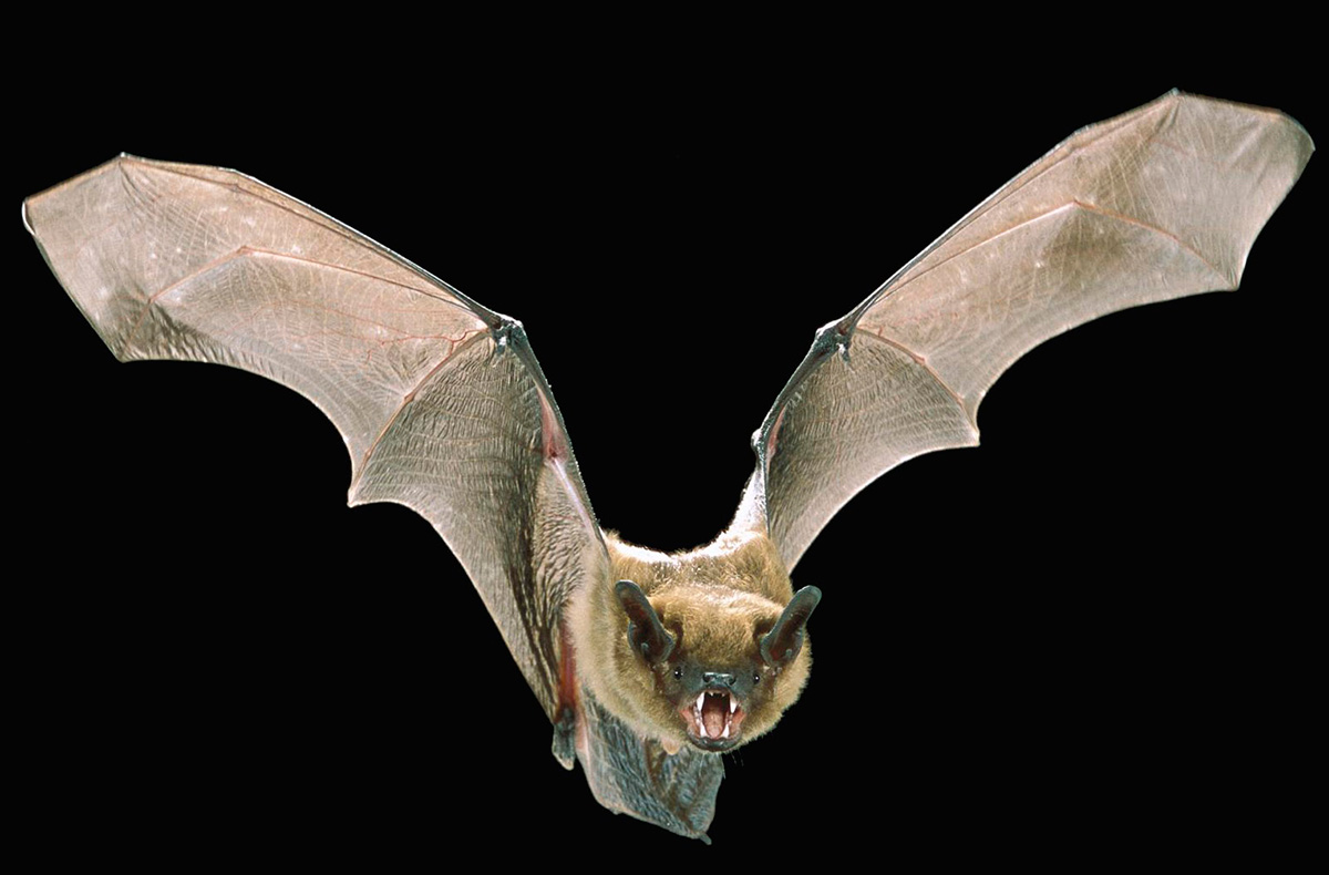 flying bat in black background, with mouth open, showing teeth