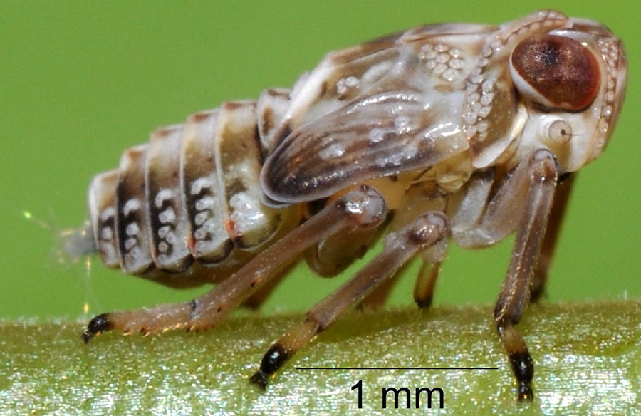 Got Gears Let S Leap Says The Leafhopper The Why Files
