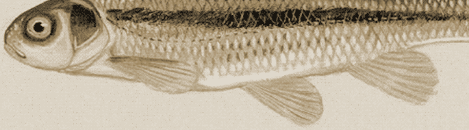close-up of monotone, brown illustration of big-eyed fish.