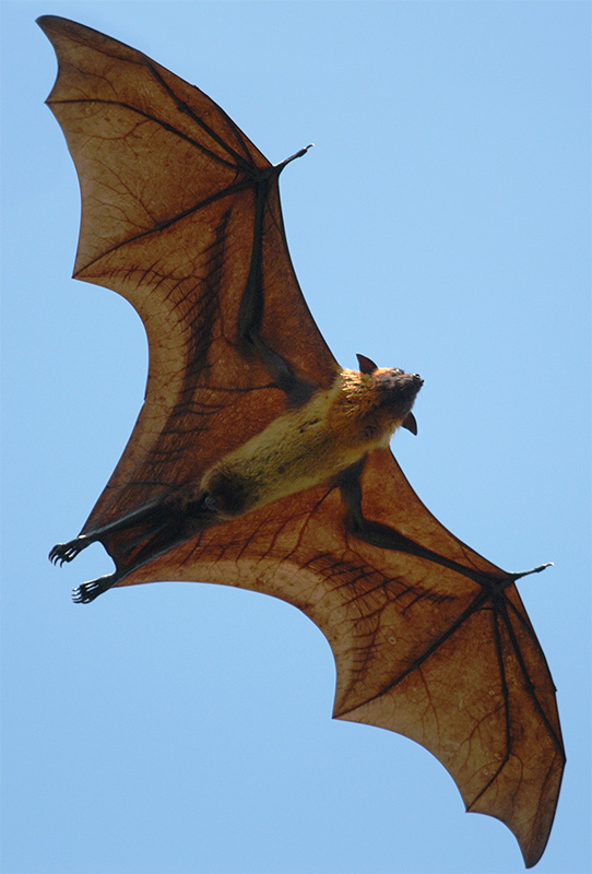 A large brown bat flying in the blue sky