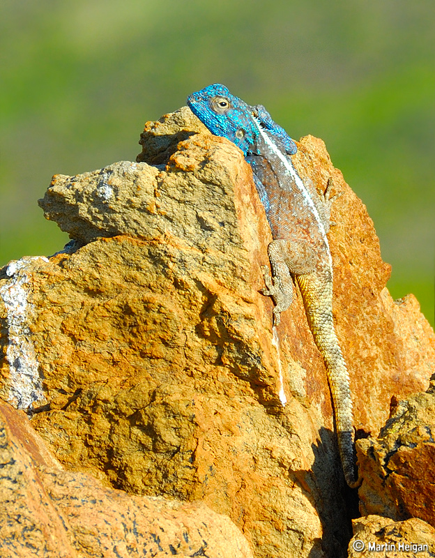 A Blue-headed Lizard basking in the sun on a rock
