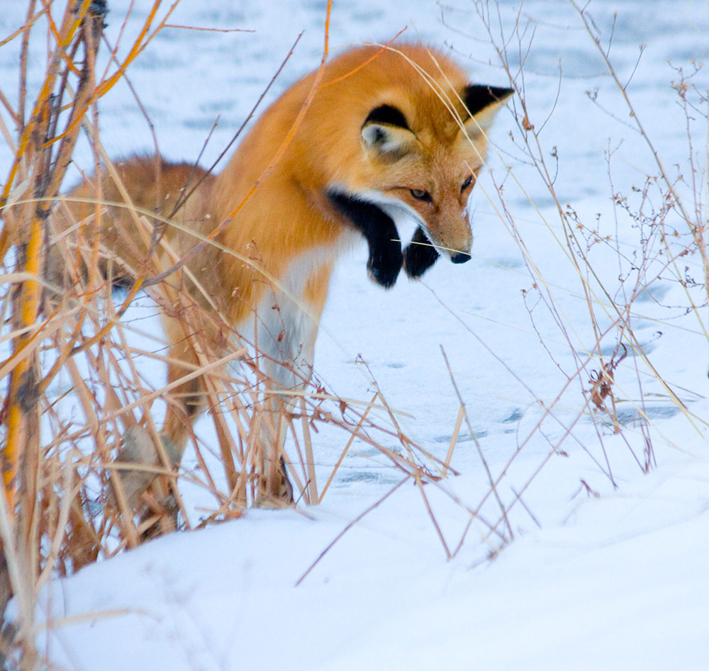 bright orange fox with black feet/legs in mid pounce above snowy bank