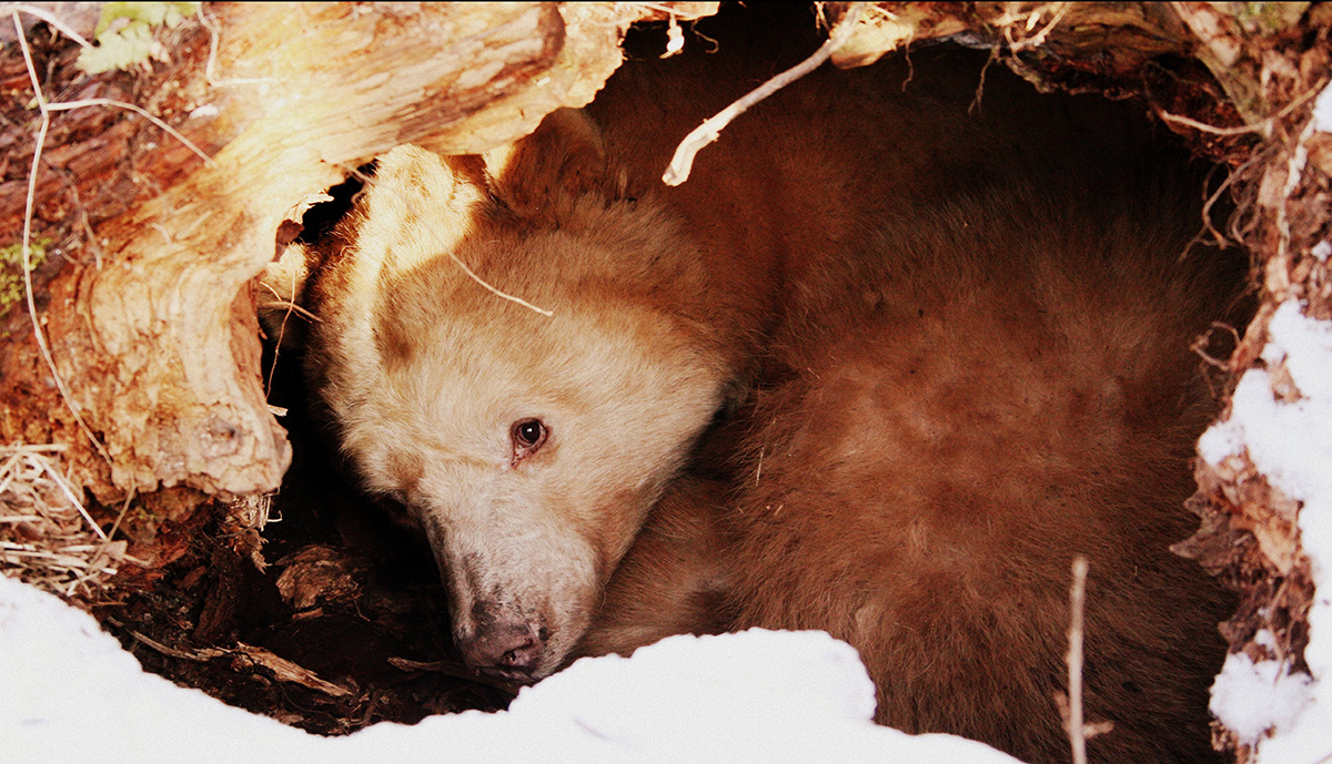 a sleeping bear hidden in a cave with eyes open.