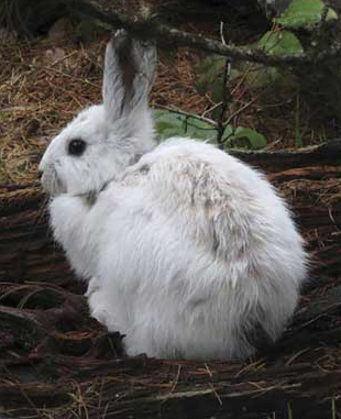 a white hare on the ground covered with brown branches and withered grass.