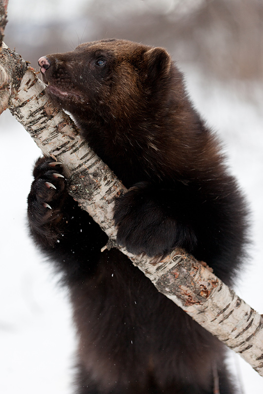 a wolverine holding a tree branch