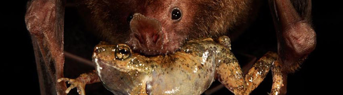 close-up of bat face with whole frog in moth