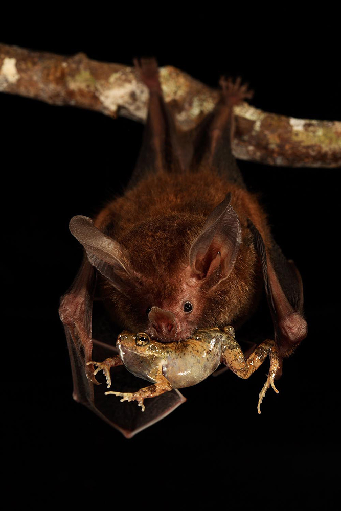 bat hangs upside down with whole frog in it's mouth