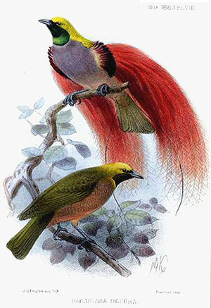 illustration showing a male Goldie's bird of paradise displays to a female. The male has a yellow and dark green plumage, a lavender grey breast and two long crimson tails. The female has an olive-brown plumage with cinnamon-brown below.