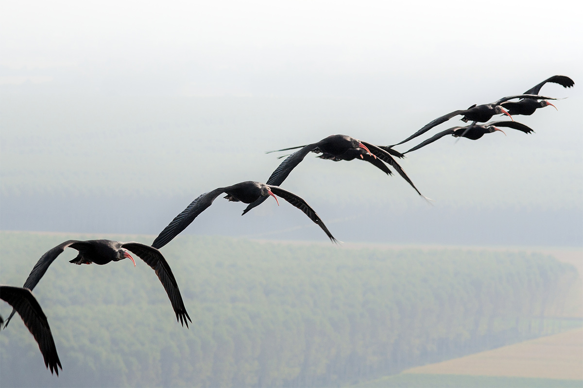 a group of ibis flying in a line