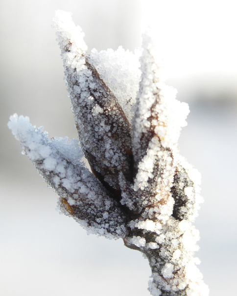 A tree bud covered with ice particles.