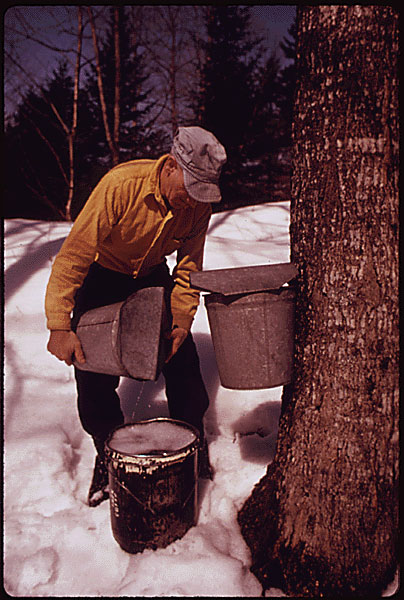 A worker dressed in yellow collecting sap from a bucket attached to a maple tree