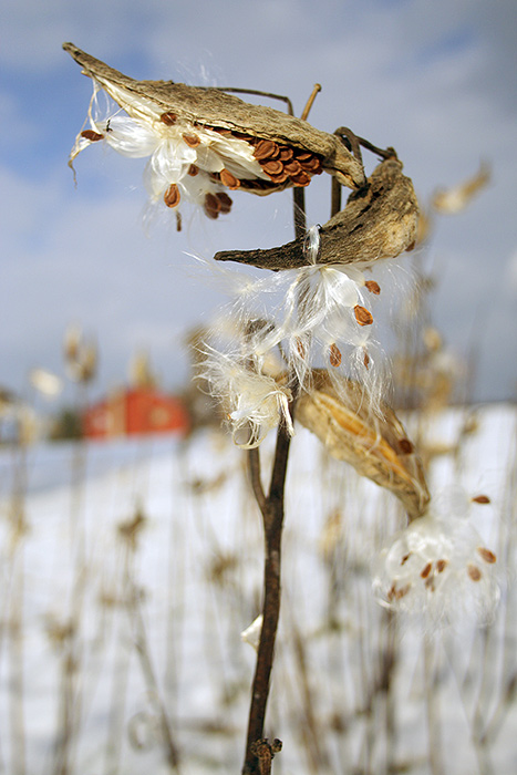 Closeup of milkweed pods releasing seeds in winter