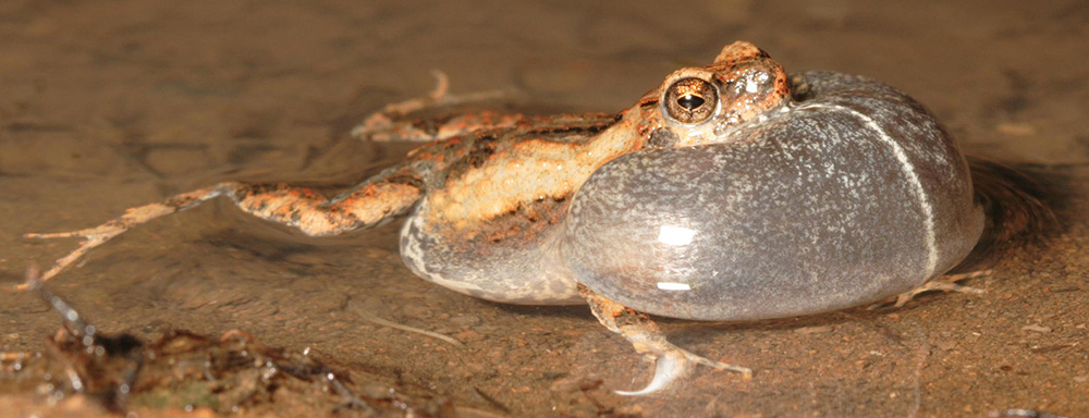 a frog lying in a shallow pool, with its vocal sac fully inflated