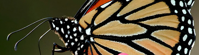 Close-up of a monarch butterfly: orange and black reticulated wing, white-spotted black head, black legs and antennae visible