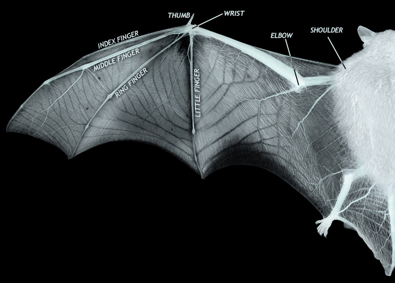 batwing_diagram