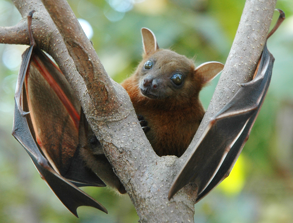 a yellowish brown bat grabbing tree branches with its thumbs