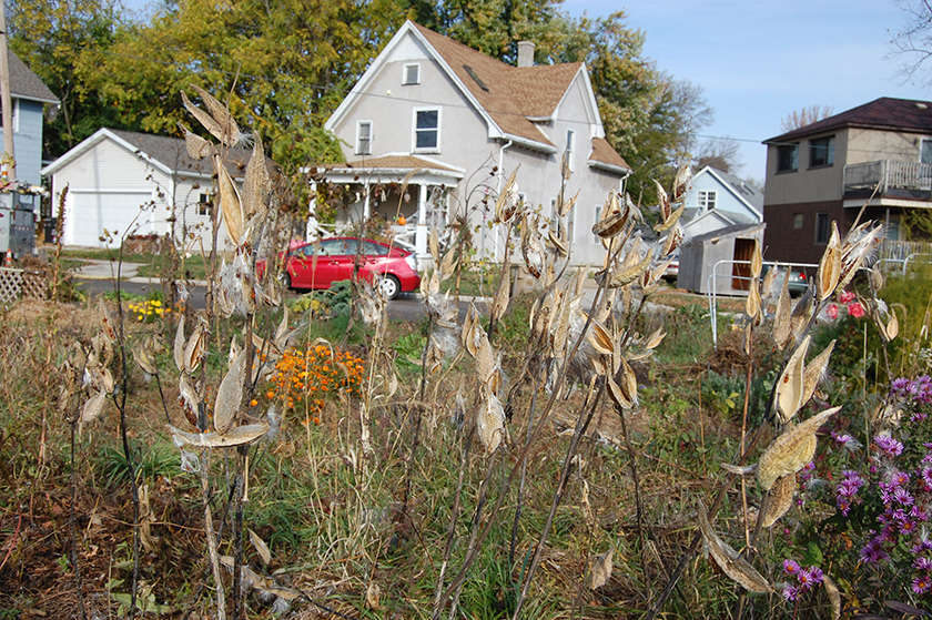 Patch of milkweed plants (empty pods, plants dried out) in a garden near a road