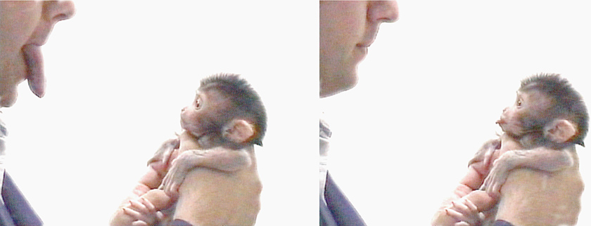 a man protruding his tongue in left photo and a baby macaque imitating the behavior in right photo.