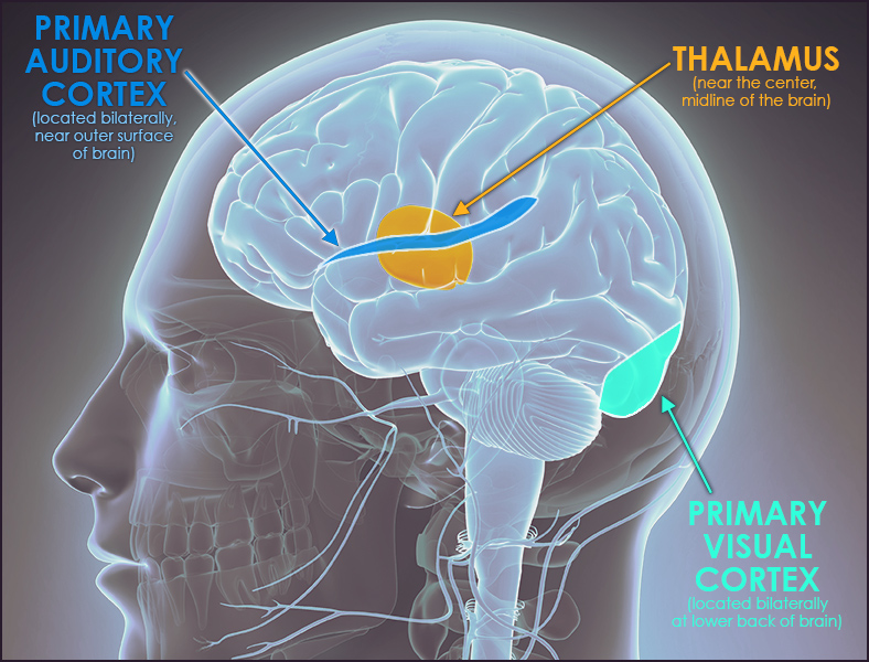 Diagram showing thalamus located between the cerebral cortex and the midbrain and auditory cortex located bilaterally, roughly at the upper sides of the cortex.