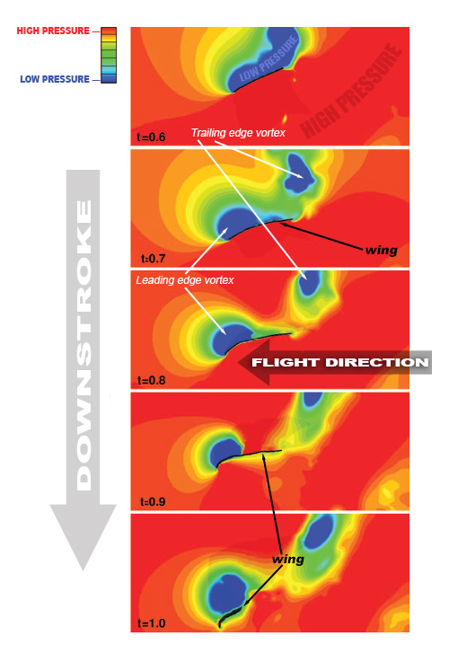 diagram showing leading edge vortex and trailing edge vortex forming along the wing at different time intervals