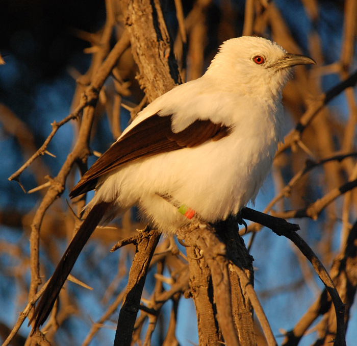 portrait of a pied babbler, which has a white head and body with brown rectrices and remiges