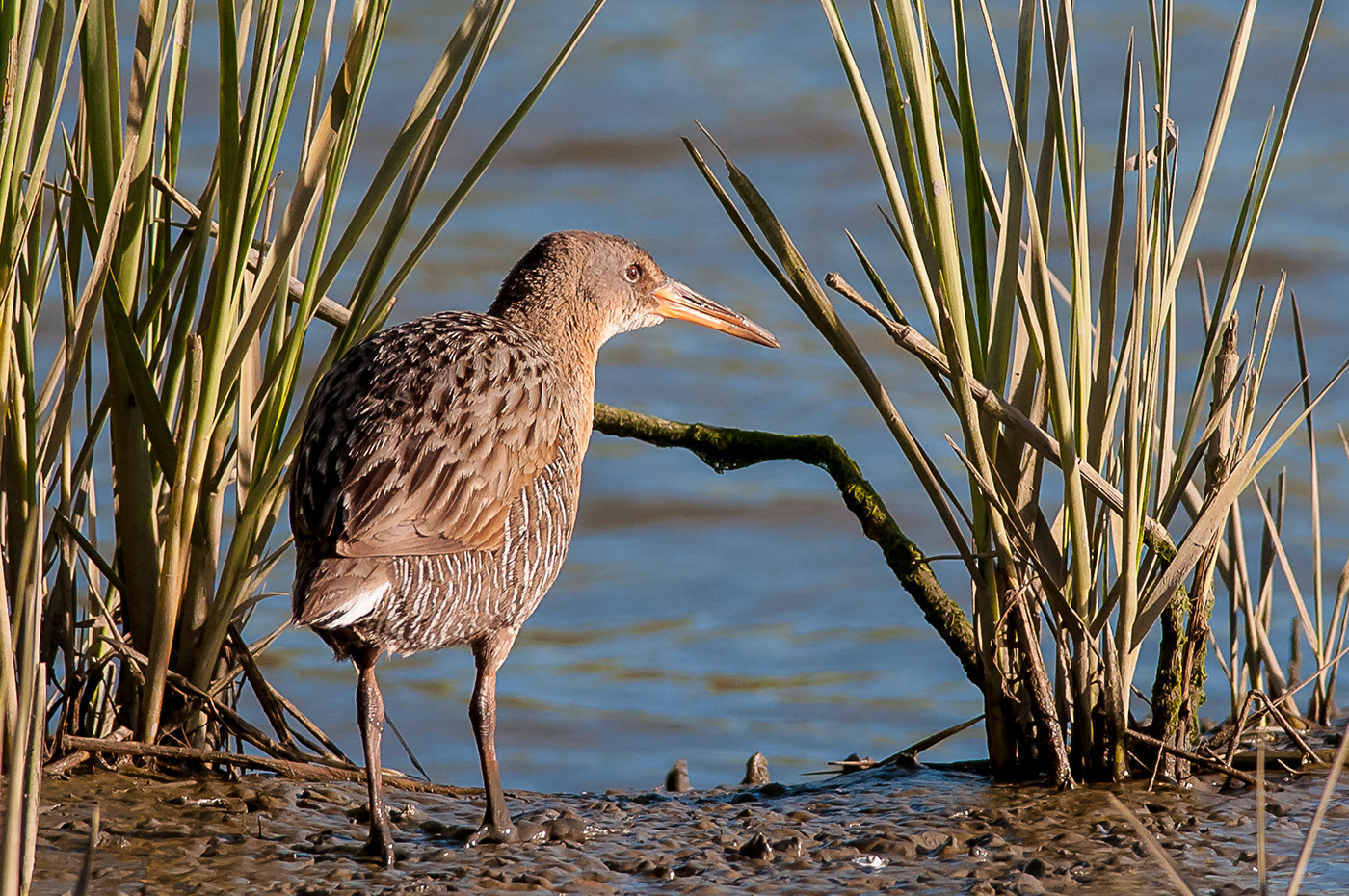 brown and white, long-beaked shorebird stands on edge of water, spiky green plant bunch on either side of it