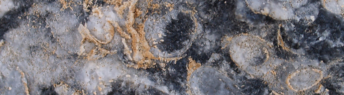 Close-up photo of the Cloudina fossil showing tube-like and circular structures