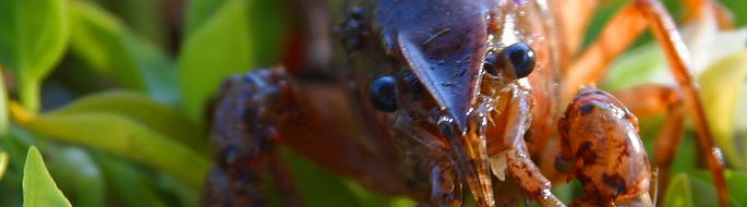 Feature image of crayfish face/front for this week's article about Anxious crayfish, anxious people: Surprising similarities
