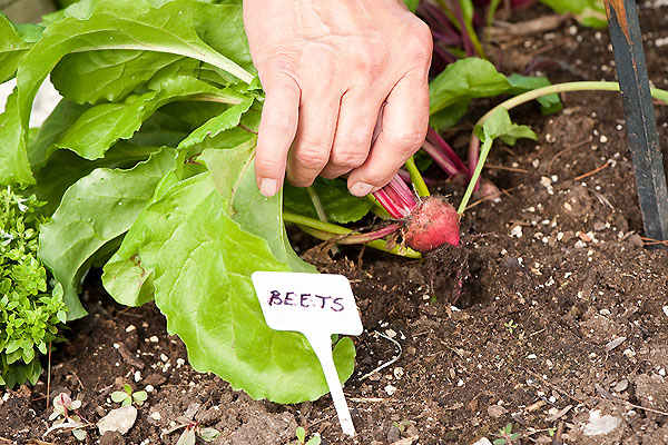 Hand plucks a small beet from the soil.