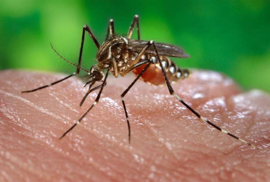 Close-up of mosquito drawing blood from skin surface