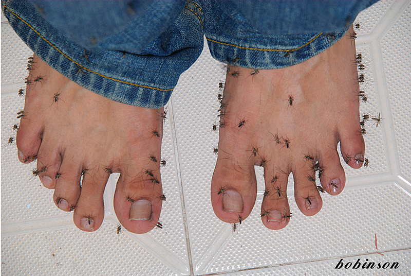 Photo of two feet, covered with mosquitoes.