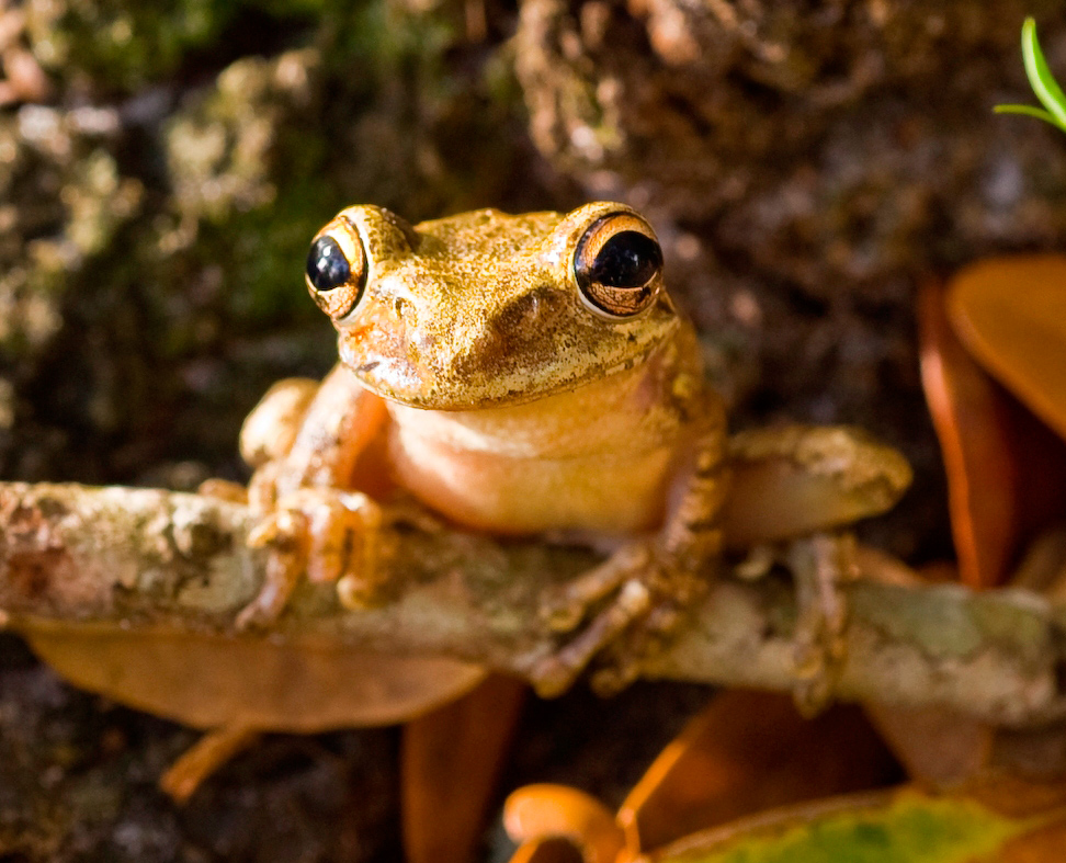 With a gold color and prominent black eyes, frog sits on branch, grasping it with long fingers.