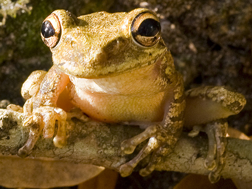 Amphibian decline: Frogs fight back!